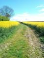 Chemin parmi les champs de colza