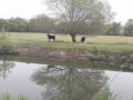 de l'eau et des taureaux