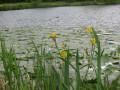 Iris et Nénuphars jaunes