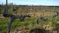 Entre les vignes: le Sérapias en cœur